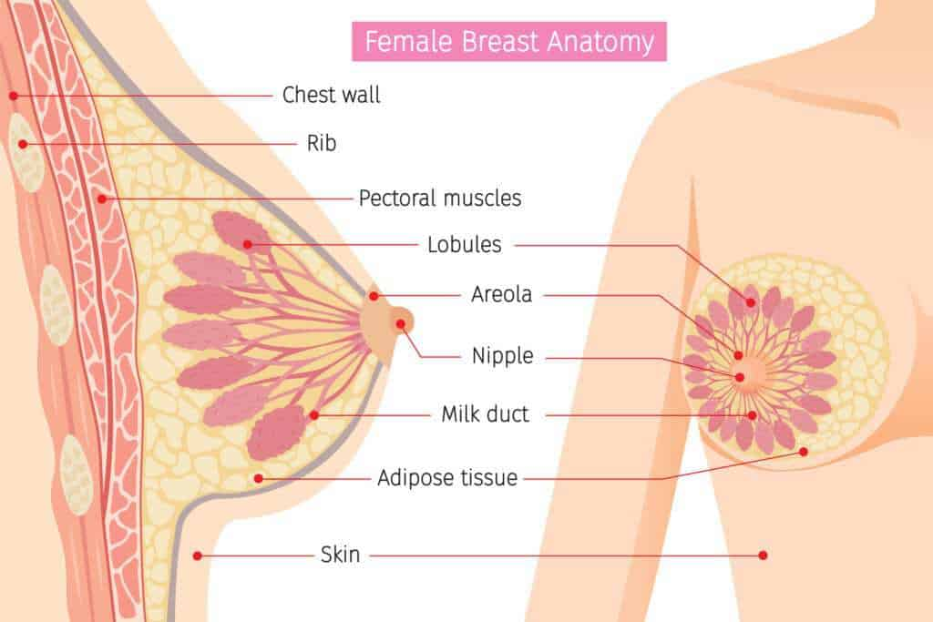 Anatomy of the breast in women